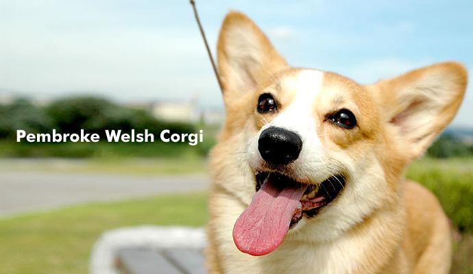 コーギー Pembroke Welsh Corgi